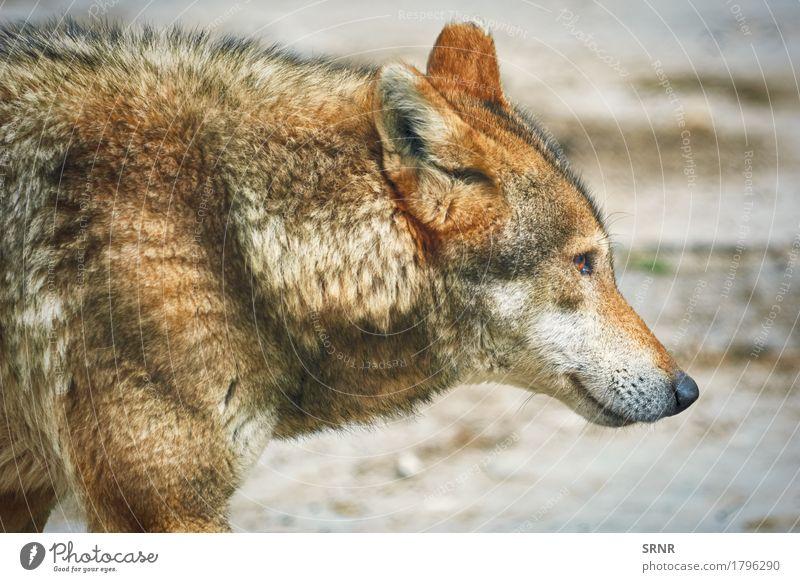 Porträt von Wolf Tier Wildtier 1 wild Apexprädator Canid Kaniformie Kanoidea hundeähnlich Fauna grauer Wolf Grauwolf Säugetier Maul Saugrüssel Podium Schnauze