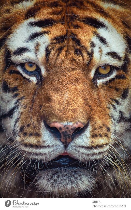 Porträt von Tiger Tier Wildtier Katze 1 wild Kraft gefährlich Tierwelt panthera tigris Dschungeltier angriffslustig staunen Biest Bengaltiger Raubkatze