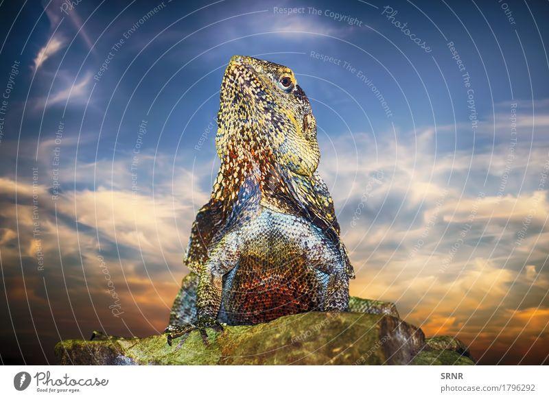 Guatemaltekischer Spiny-angebundener Leguan Tier Nachthimmel Wildtier Echte Eidechsen 1 wild Fauna Tierwelt Lizard Leguane guatemaltekischer leguan