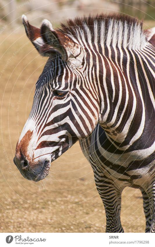 Porträt von Zebra Umwelt Natur Tier Wildtier Pferd Tiergesicht 1 Streifen wild Afrikanisch afrikanisches Pferd ökologisch pferdeähnlich equus burchelli