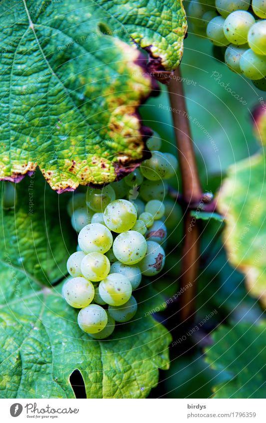 Wein vor der Lese Frucht Ernährung Winzer Landwirtschaft Forstwirtschaft Nutzpflanze Weintrauben Weinblatt ästhetisch authentisch einzigartig positiv süß gelb