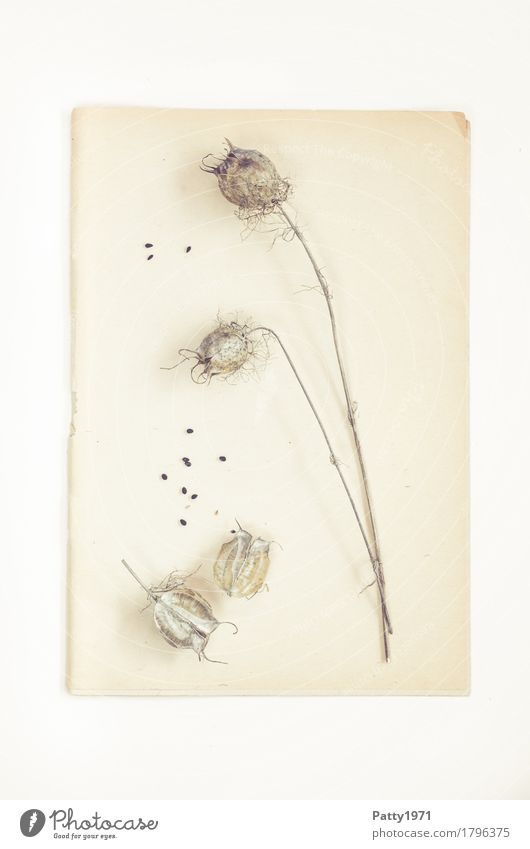 Mohn Natur Pflanze Mohnkapsel Samen Papier Zettel Herbarium Stillleben alt hell retro trocken braun ruhig Nostalgie Verfall Vergänglichkeit Wandel & Veränderung
