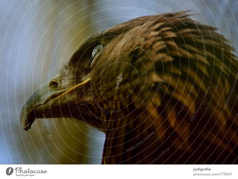Räuber Natur Tier Vogel Tiergesicht natürlich Wildtier Schnabel Greifvogel