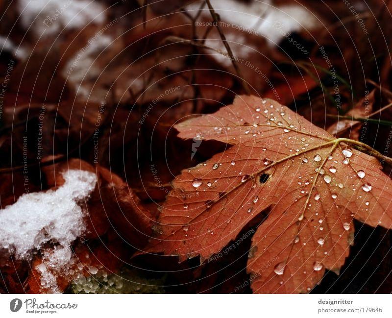 Herbsttyp Farbfoto Nahaufnahme Detailaufnahme Menschenleer Textfreiraum links Textfreiraum oben Schwache Tiefenschärfe Natur Pflanze Wasser Wassertropfen Eis