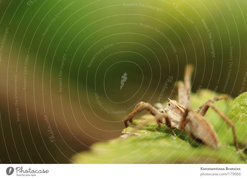 Mini Spinner Tag Sommer 1 Mensch Natur Tier Herbst Sträucher Blatt Netz beobachten hocken krabbeln springen warten Ekel nah Neugier braun grün Angst Ast Auge