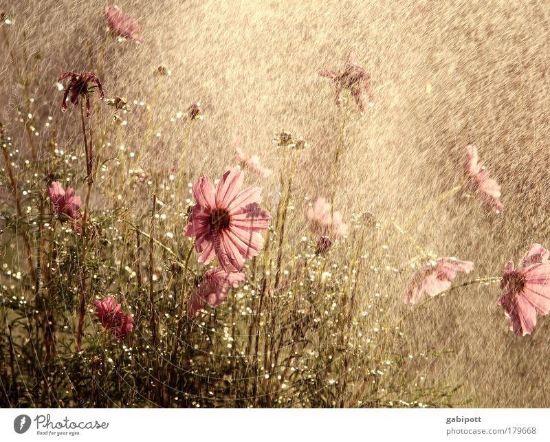 wie ein warmer sommerregen Natur Pflanze Sommer Blume Blatt Wärme Blüte Wiese Glück braun rosa Regen glänzend Idylle Wassertropfen Lebensfreude