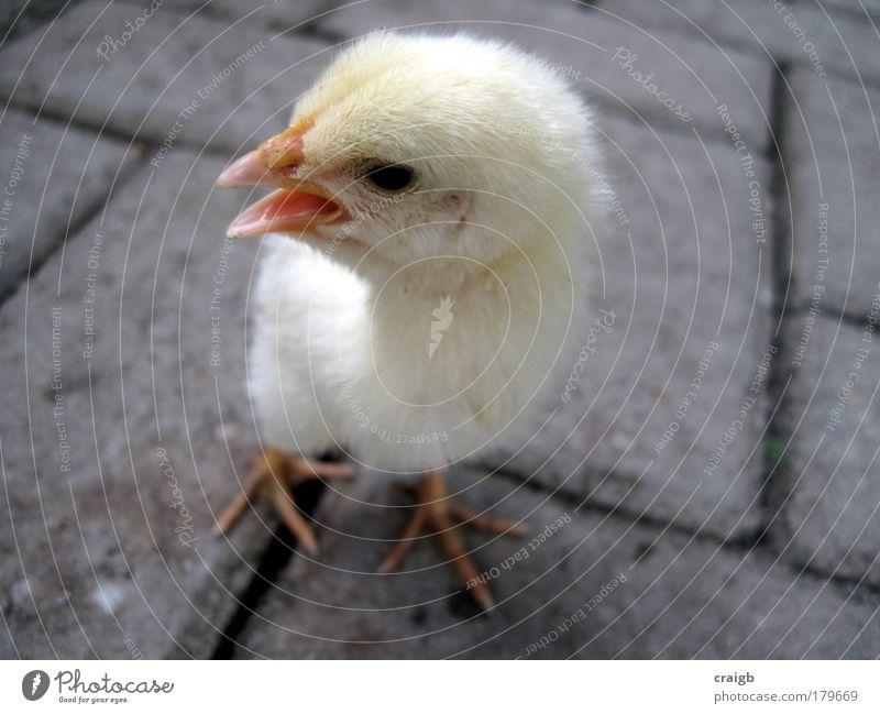 Andy Farbfoto Gedeckte Farben Nahaufnahme Menschenleer Tag Licht Tierporträt Ganzkörperaufnahme Wegsehen Nutztier Vogel Tiergesicht Küken 1 Tierjunges Stress