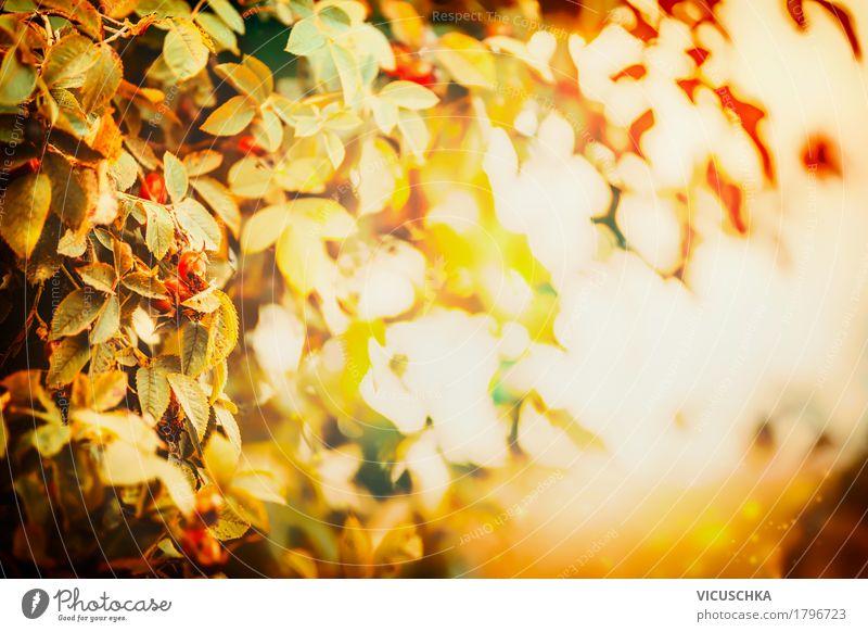 Herbstblätter im Abendlicht Lifestyle Design Garten Natur Landschaft Pflanze Sonnenlicht Schönes Wetter Baum Sträucher Blatt Park gelb Sonnenuntergang