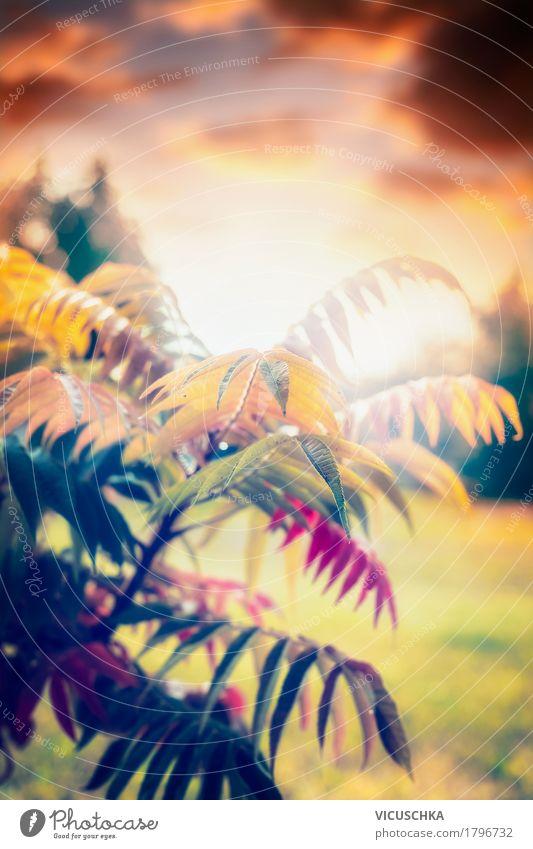 Schöne Herbstlaub , Sonnenuntergang Lifestyle Design Garten Natur Pflanze Sonnenlicht Schönes Wetter Baum Sträucher Blatt Park weich gelb beautiful September