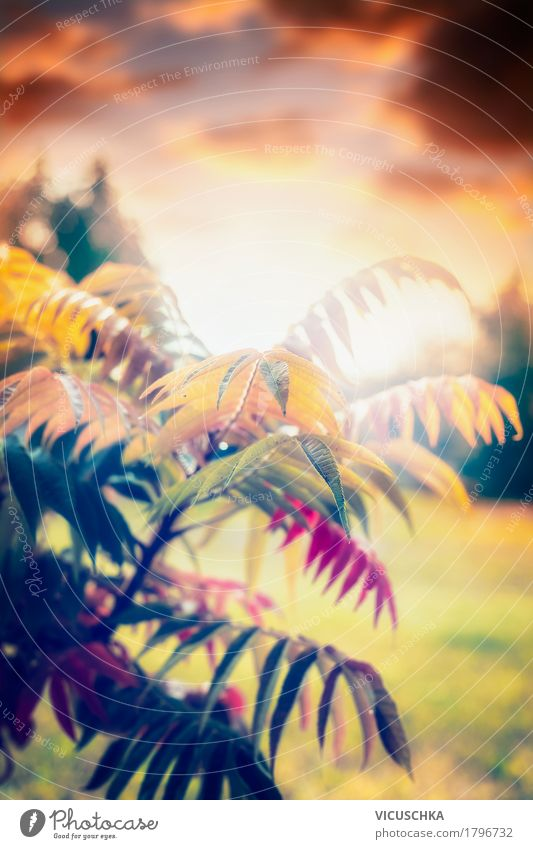 Schöne Herbstlaub , Sonnenuntergang Natur Pflanze schön Baum Landschaft Blatt gelb Lifestyle Garten Design Park Sträucher Schönes Wetter weich September