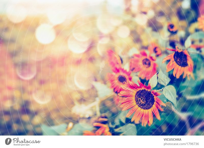 Herbst rote Sonnenblumen im Graten Lifestyle Design Sommer Garten Natur Pflanze Sonnenlicht Schönes Wetter Blume Blatt Park gelb autumn Unschärfe schön Farbfoto