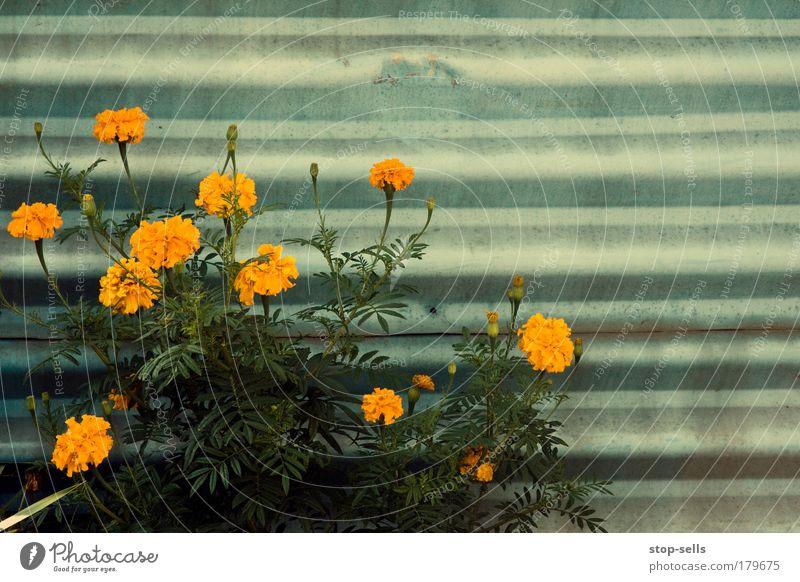 Schutzblech Natur Pflanze Sommer Blume Umwelt Herbst Wand Garten Blüte Park orange natürlich Wachstum Duft harmonisch Geometrie