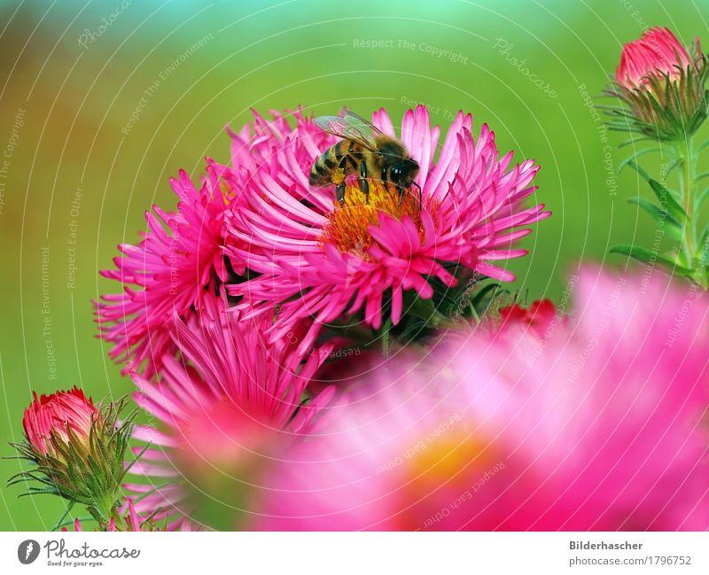 Rosa Astern mit Biene Sommer Blume Blüte rosa Blumenstrauß Insekt Biene Blütenknospen Blütenblatt Pollen Korbblütengewächs Blütenstauden strahlend Nektar Astern Honigbiene
