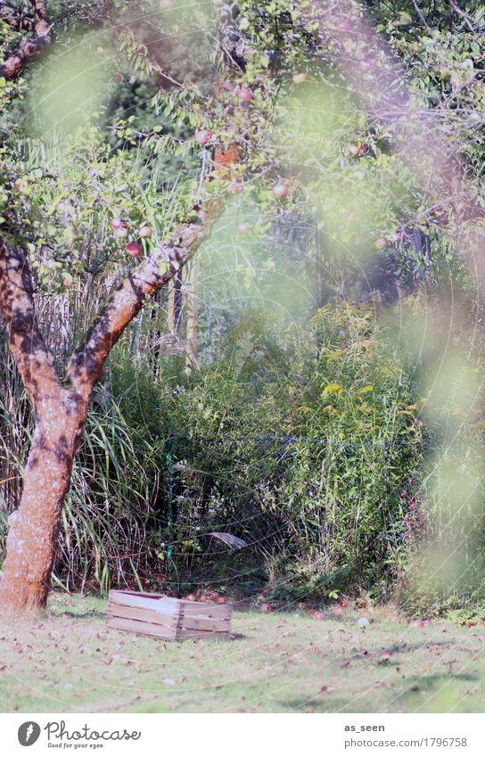 Apfelbaum Frucht Ernährung Sommer Garten Erntedankfest Umwelt Natur Herbst Schönes Wetter Baum Obstbaum Erholung authentisch hell natürlich braun grün Gefühle