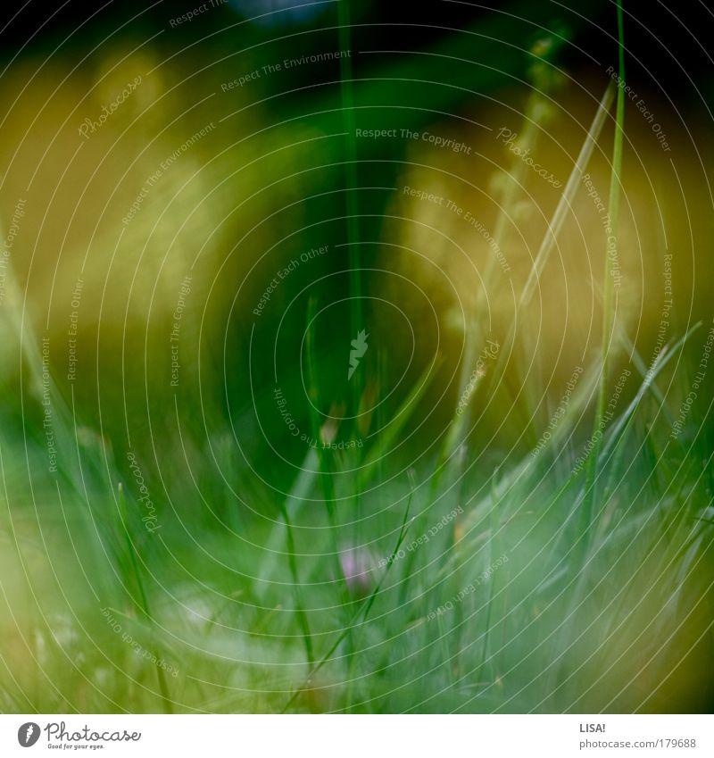 gras III Natur grün Pflanze Sommer Blatt schwarz gelb Wiese Blüte Gras Landschaft Feld rosa Wind Umwelt Grünpflanze