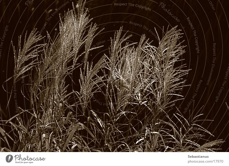 nur Schilf Pflanze Gras glänzend Schilfrohr Sepia Wasserpflanze