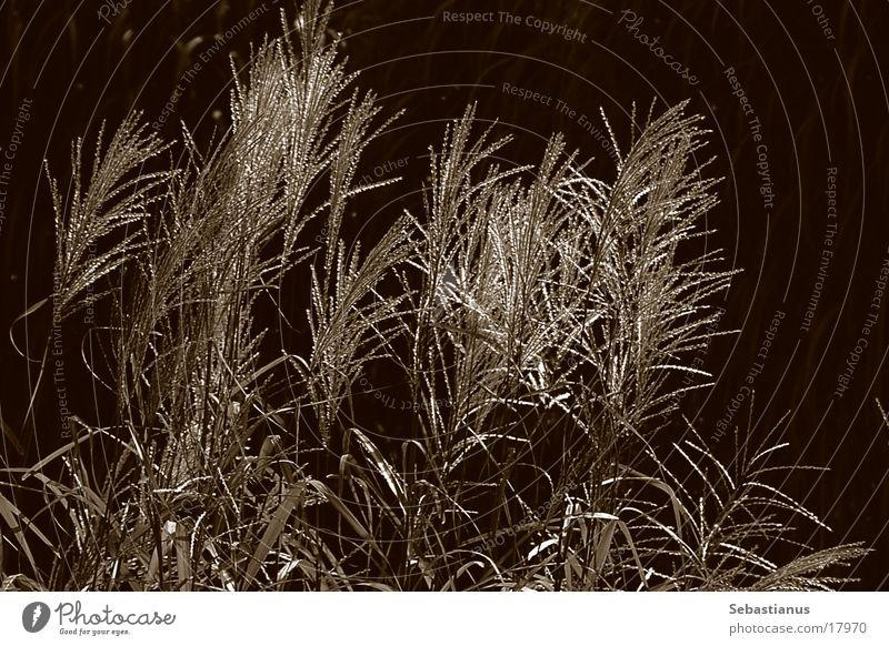 nur Schilf Pflanze Schilfrohr glänzend Wasserpflanze Gras Sepia