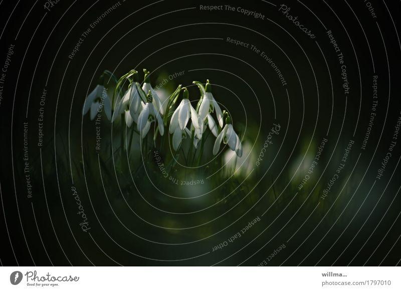 schneeglöckchen Natur Pflanze Frühling Blühend Jahreszeiten zart Schneeglöckchen Frühlingsblume Frühblüher Vor dunklem Hintergrund