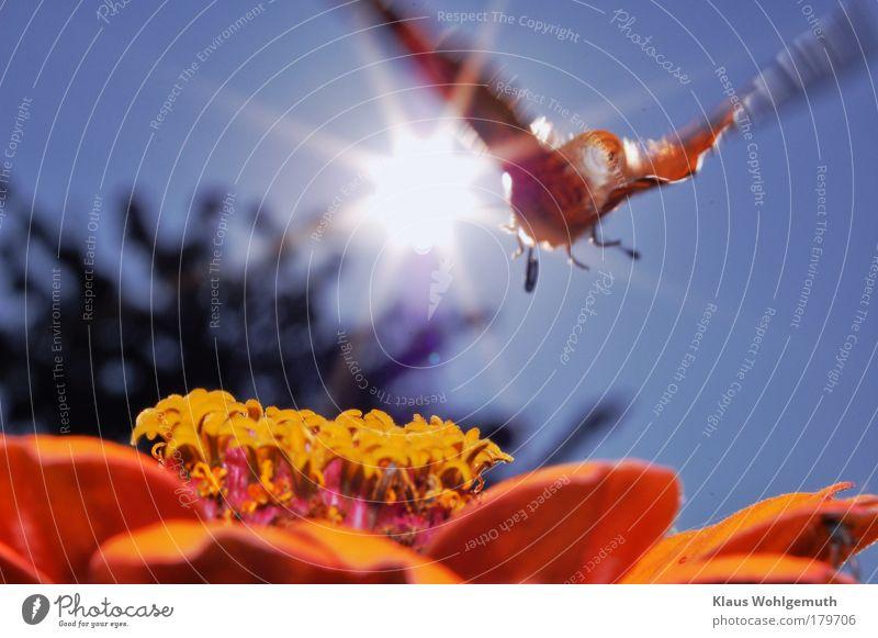 Überflieger Natur Sonne Blume rot Sommer schwarz Tier Luft braun elegant fliegen mehrfarbig Gesäß wild Schmetterling exotisch