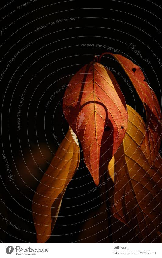 das wellingholzhausener abendblatt Herbst Blatt Herbstlaub braun gelb rot Erholung Abenddämmerung herbstlich hängen lassen dunkel rotbraun Blattadern Farbfoto