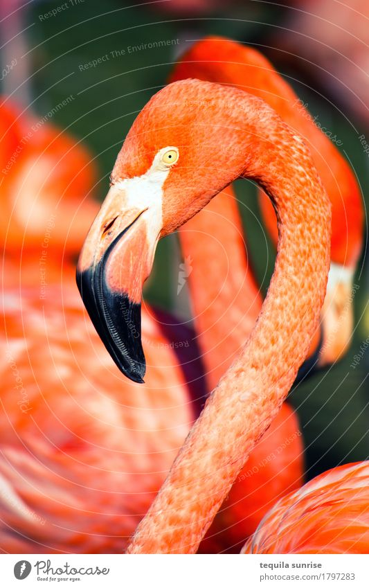Flamingo Tier Wildtier Tiergesicht 1 Tiergruppe orange rosa rot Zoo Farbfoto mehrfarbig Außenaufnahme Tierporträt Profil