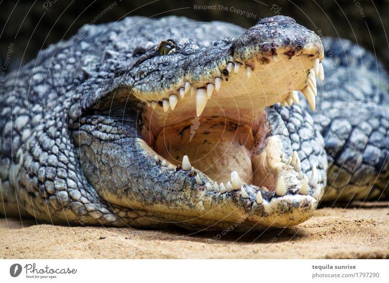 Kroko III Tier Wildtier Zoo Krokodil Alligator Maul Gebiss Zähne zeigen 1 lachen Fressen gähnen Gaumen Schuppen Farbfoto Tierporträt Oberkörper Blick