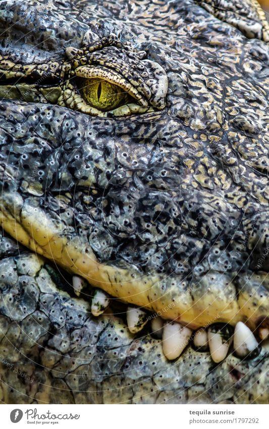 Kroko I Tier Wildtier Zoo Reptil Krokodil Alligator Kaiman 1 Auge Gebiss Fressen Lächeln lachen böse Erwartung Farbfoto Gedeckte Farben Porträt Tierporträt