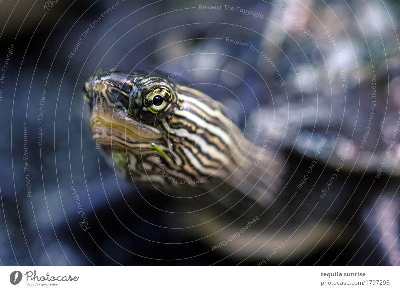 Minischildkröte Tier Wildtier Tiergesicht Schildkröte Reptil Wasserschildkröte Auge 1 klein Farbfoto Schwache Tiefenschärfe Porträt Tierporträt Blick nach vorn