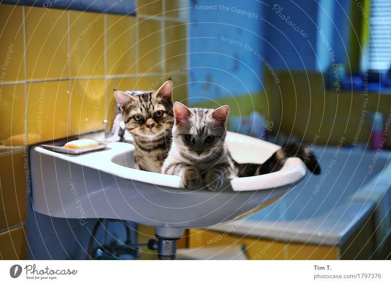 Katze und Kater Tier ruhig Bad Haustier Waschbecken