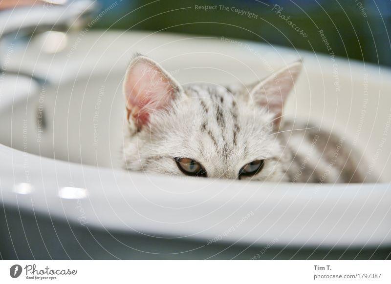 Katze Tier Haustier 1 ruhig Bad Waschbecken Farbfoto Innenaufnahme Menschenleer Abend Blick