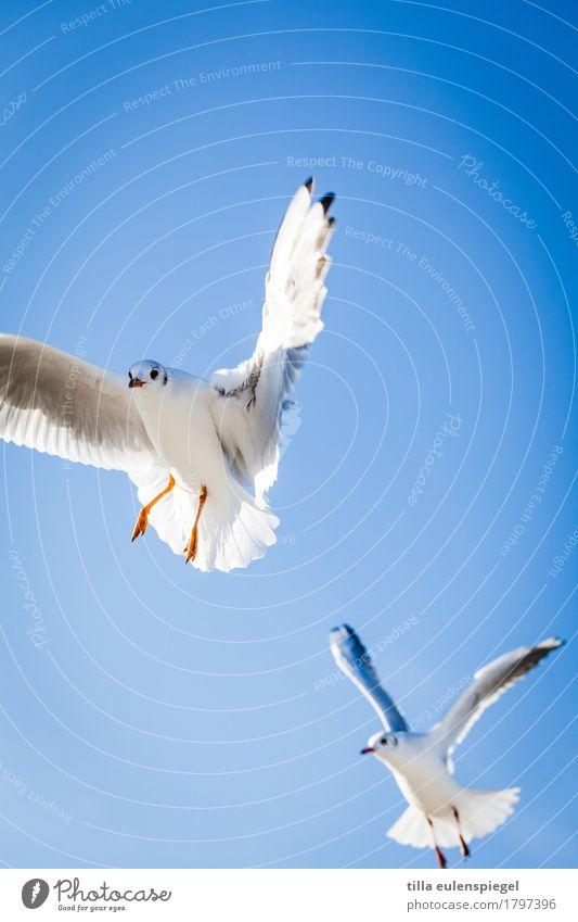 Durchstarter Himmel Sommer Schönes Wetter Tier Vogel 2 Tierpaar beobachten fliegen frech frei Zusammensein natürlich wild blau schwarz weiß Neugier Interesse