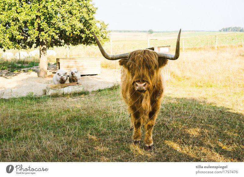 1 Rindvieh und 2 Schweine Natur Sommer Baum Wiese Feld Nutztier Kuh Hängebauchschwein Schottisches Hochlandrind 3 Tier Tierpaar beobachten stehen warten