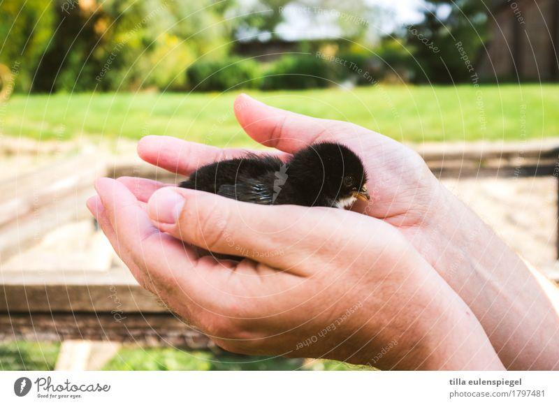 Lieber das Küken in der Hand ... Mensch Hand Tier schwarz Tierjunges klein Freizeit & Hobby maskulin Kraft Warmherzigkeit niedlich weich berühren Schutz Sicherheit festhalten