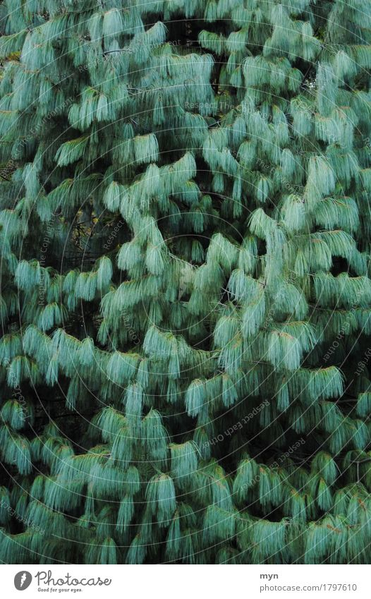 Tränenkiefer Umwelt Natur Pflanze Baum grün Kiefer Wald Nadelbaum Nadelwald Tannennadel Tannenzweig Konifere Zweig Ast Strukturen & Formen abstrakt Muster