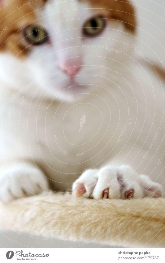 Geschärfte Krallen schön Auge Tier Katze sitzen weich Fell Gelassenheit Neugier Jagd Tiefenschärfe Respekt Pfote Haustier Aggression Schüchternheit