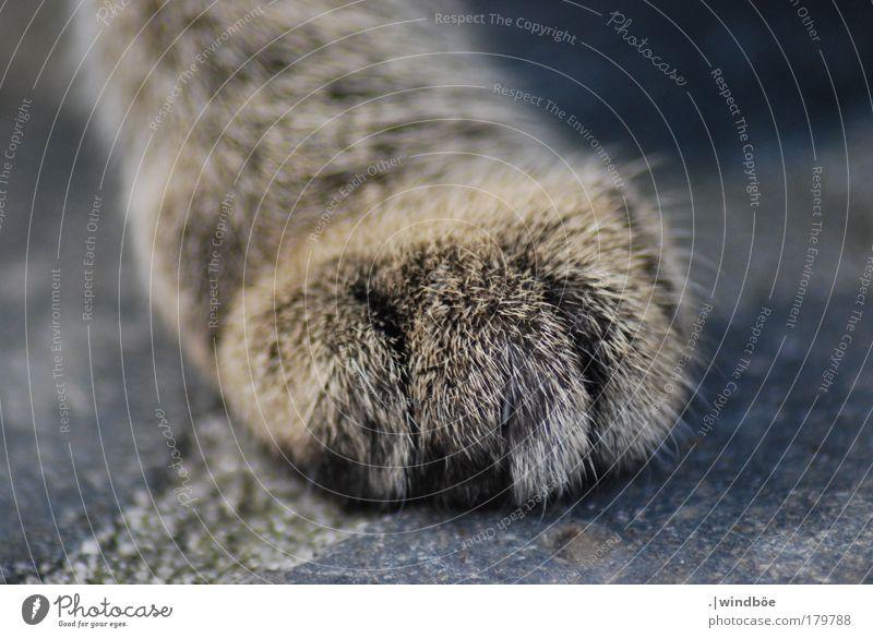 Auf leisen Pfoten Katze blau weiß schön Tier Leben grau Denken braun warten natürlich wandern frei frisch außergewöhnlich Fröhlichkeit