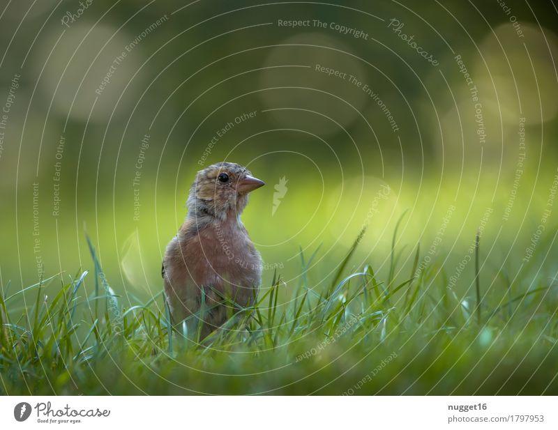 junger Buchfink Natur Sommer grün schön Tier Tierjunges gelb Wiese Gras Garten braun Vogel orange Park Zufriedenheit Wildtier