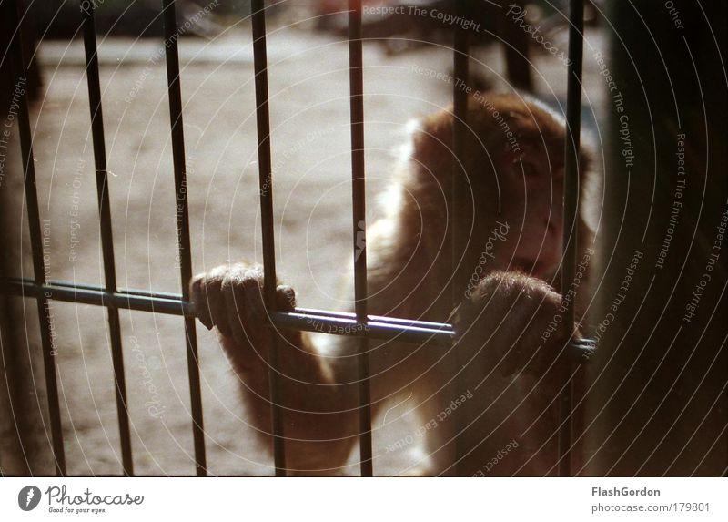 Japanmakak Außenaufnahme Tierporträt Wegsehen Wildtier Tiergesicht Pfote Zoo 1 demütig Traurigkeit Heimweh Fernweh Einsamkeit Affen Tag