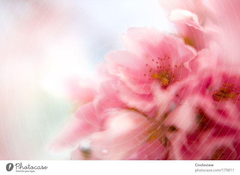 Kotzkitsch Natur schön Baum Pflanze Sommer Farbe Erholung Gefühle Blüte Glück Wärme Zufriedenheit rosa Wetter Umwelt ästhetisch