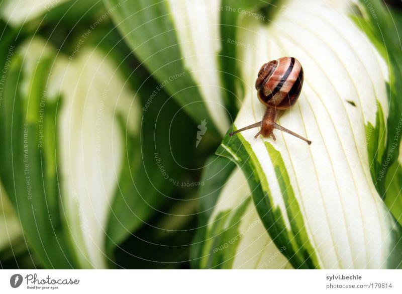 Schneckenkind Natur Pflanze Tier Blatt Wildtier klein niedlich braun gelb grün langsam Bewegung krabbeln Streifen bedächtig zart zerbrechlich Farbfoto