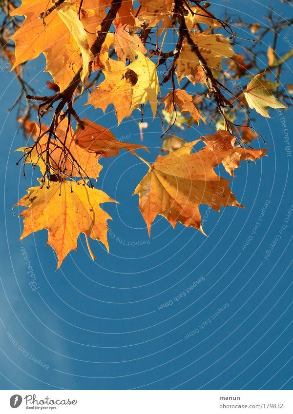 naturblond Natur blau Blatt ruhig gelb Wärme Herbst Park leuchten frisch gold Fröhlichkeit Vergänglichkeit Schönes Wetter Wandel & Veränderung Wohlgefühl
