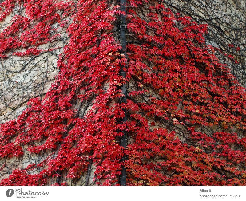 Am roten Eck Natur Pflanze rot Ferien & Urlaub & Reisen Blatt Haus Herbst Wand Garten Gebäude Mauer Park Ausflug Platz Sträucher Bauwerk