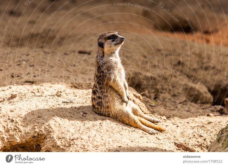 Erdmännchen Natur Tier Zufriedenheit Warmherzigkeit Wachsamkeit Geborgenheit Erdmännchen