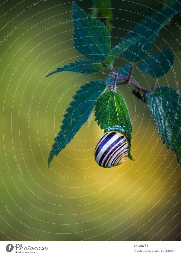 festge(sch)leimt Natur Pflanze grün Blatt Tier ruhig Umwelt gelb braun Schutz Vertrauen hängen Schnecke Heilpflanzen Wildpflanze Brennnessel