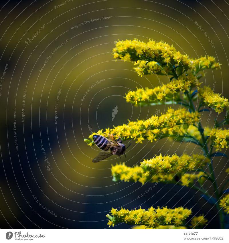 gelbe Sternchen Natur Pflanze Tier Sommer Blume Blüte Wildpflanze Kanadische Goldrute Wald Nutztier Biene Insekt Honigbiene 1 Arbeit & Erwerbstätigkeit Duft