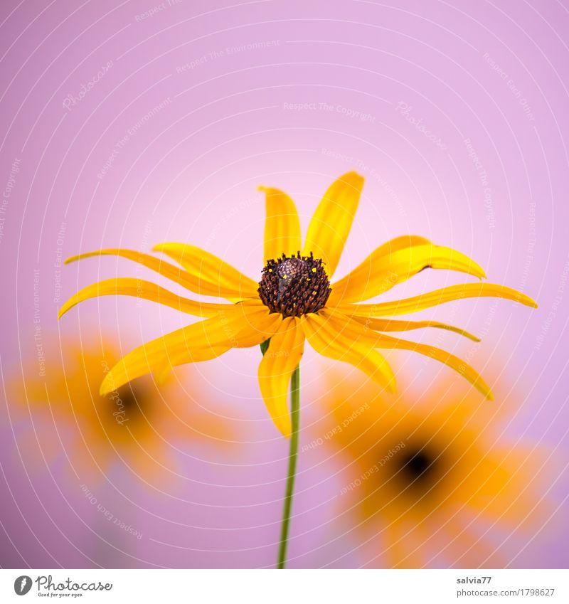 sonniges trio Natur Pflanze Sommer Farbe schön Sonne Blume Erholung gelb Blüte Garten ästhetisch Blühend Romantik violett harmonisch