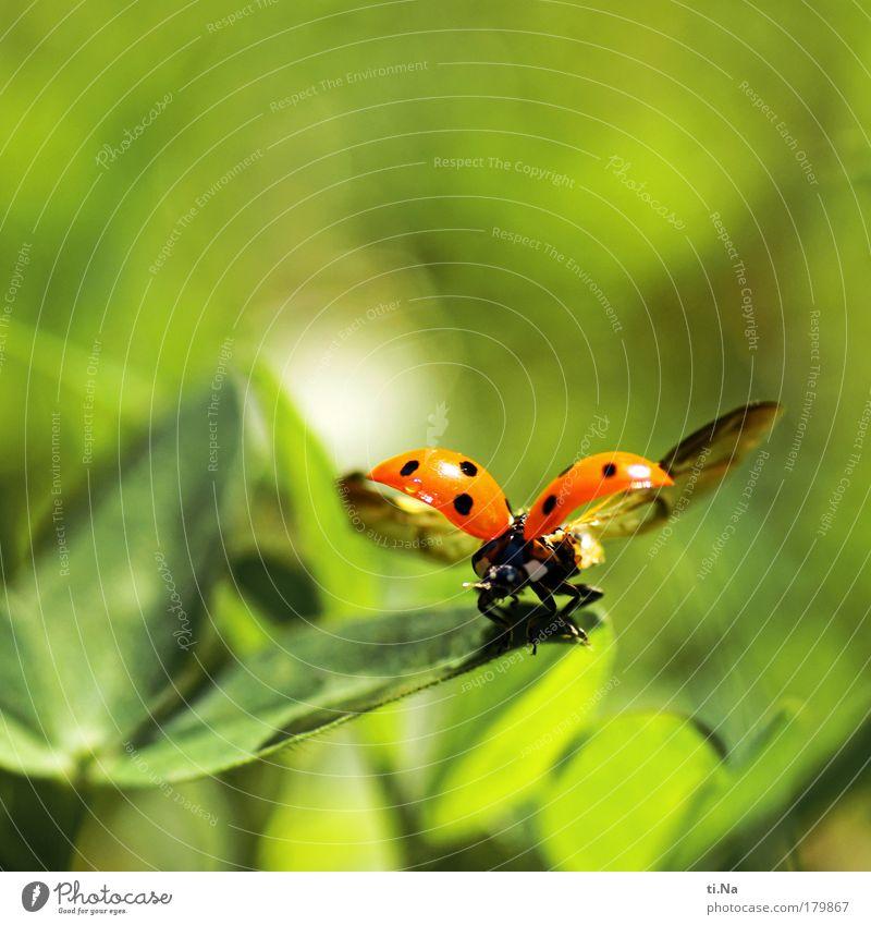 Ich kann fliegen Natur schön grün Pflanze rot Sommer Ferien & Urlaub & Reisen schwarz Tier Wiese Landschaft Umwelt fliegen nass frei Flügel