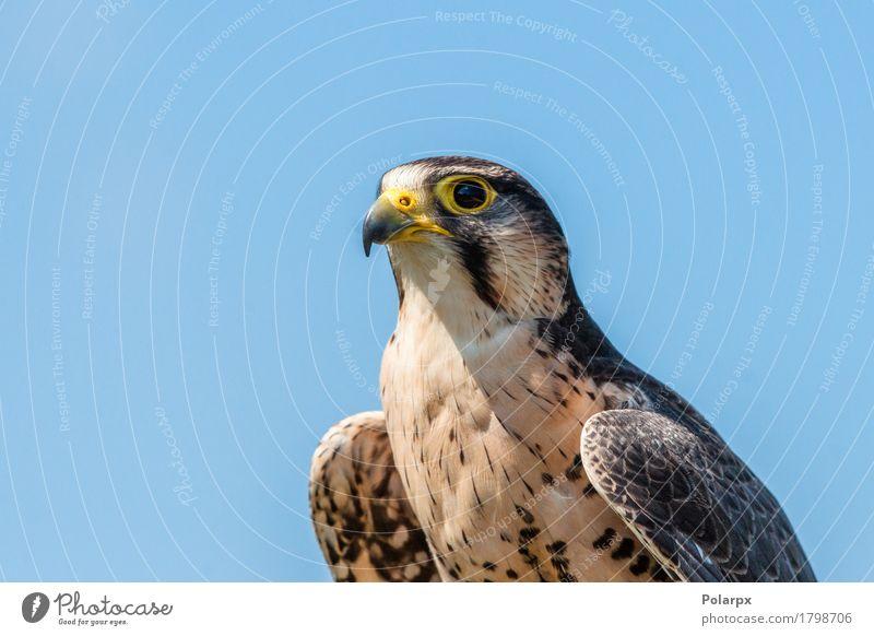 Turmfalke mit gelbem Schnabel Frau Himmel Natur Mann Farbe schön Tier Erwachsene natürlich braun Vogel wild Feder Flügel groß beobachten