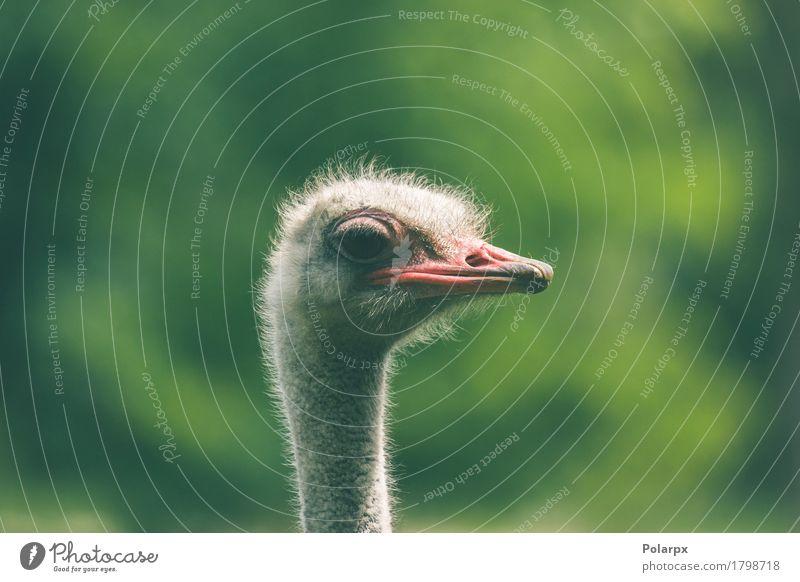 Strauß Headshot auf grünem Hintergrund Natur Ferien & Urlaub & Reisen Pflanze weiß Tier Gesicht natürlich Gras Spielen Vogel wild Park Feder groß Schutz