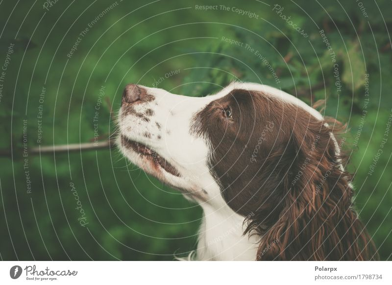 Netter Hund in der Natur Sommer grün weiß Landschaft Tier Gesicht Umwelt Wiese natürlich Gras Spielen braun Arbeit & Erwerbstätigkeit Zufriedenheit
